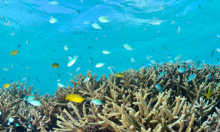 八重山の海環境に対応したサンゴ養殖の現状と今後